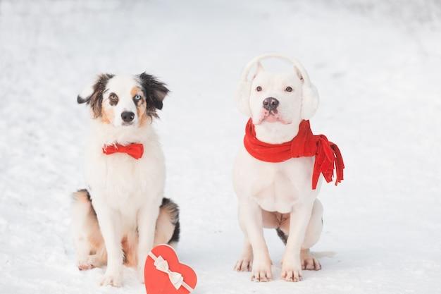 Pastor australiano com gravata borboleta vermelha e bulldog com caixa de coração