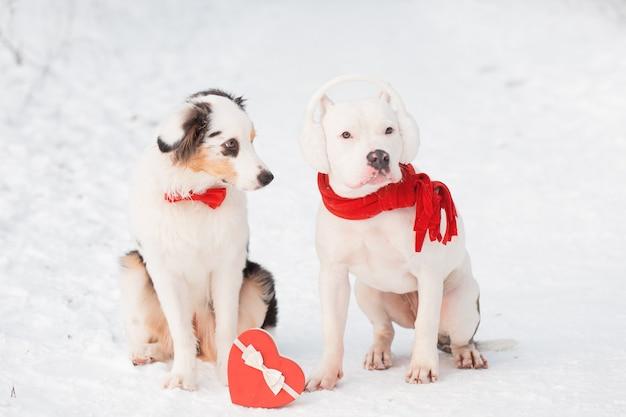 Pastor australiano em gravata borboleta vermelha e bulldog com caixa de coração. namorados.