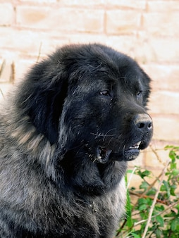 Pastor, de, a, cáucaso, cão, retrato