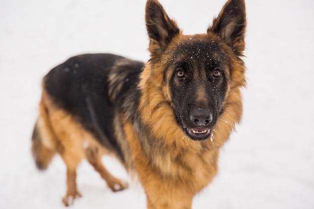 Pastor de brown que anda na neve em um parque. cachorro puro-sangue ambulante