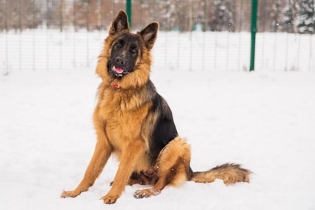 Pastor de brown que anda na neve no parque no campo de jogos. cão ambulante