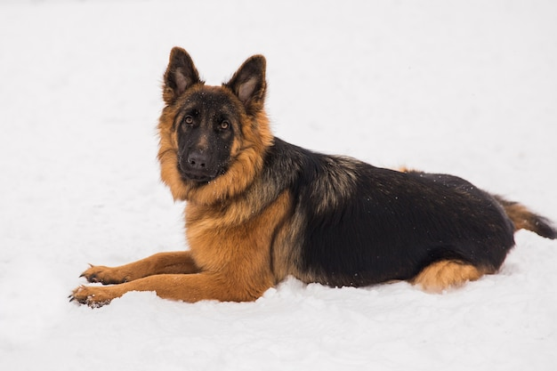 Pastor de brown que encontra-se na neve no parque. cachorro puro-sangue ambulante