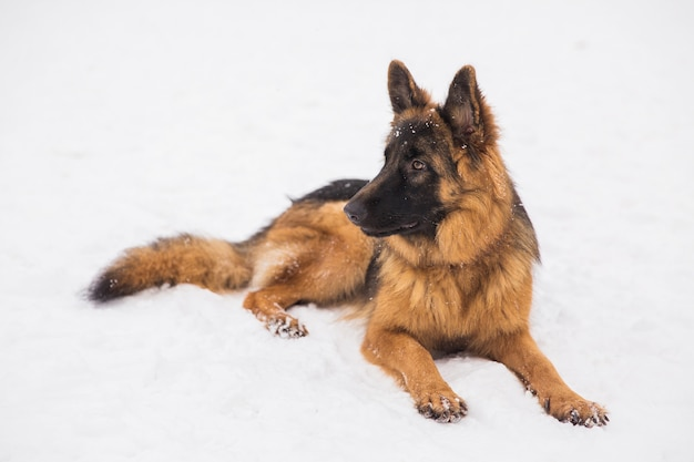 Pastor marrom bonito que encontra-se na neve em um parque