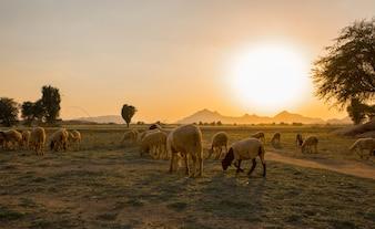 Pastoreio rural