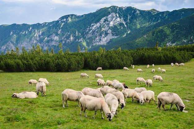 Pastos alpinos no parque nacional de retezat, carpathians, romênia.