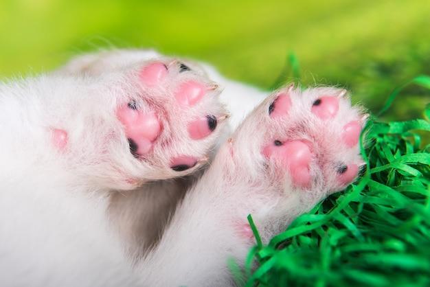 Patas de cachorrinho samoyed branco pequeno em fundo de grama verde