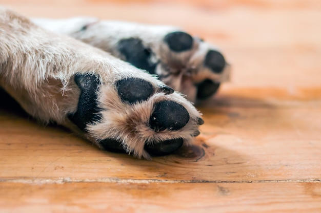 Patas de cachorro dormindo no chão de madeira
