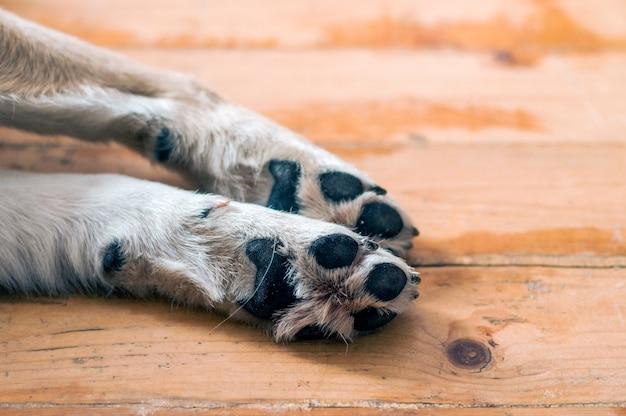 Patas de cachorro no chão de madeira