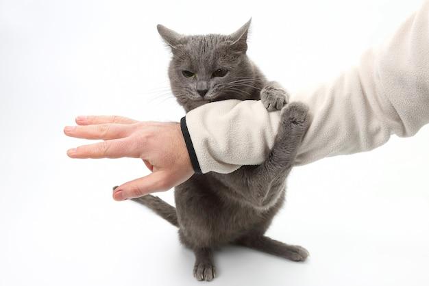 Patas de gato cinza agarraram a mão da pessoa