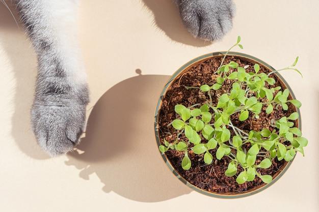 Patas de gato cinza e um pequeno prato com sementes germinadas. conceito de grama para animais de estimação, microgreen.