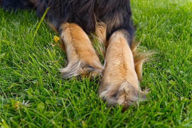 Patas dianteiras de um cachorro.