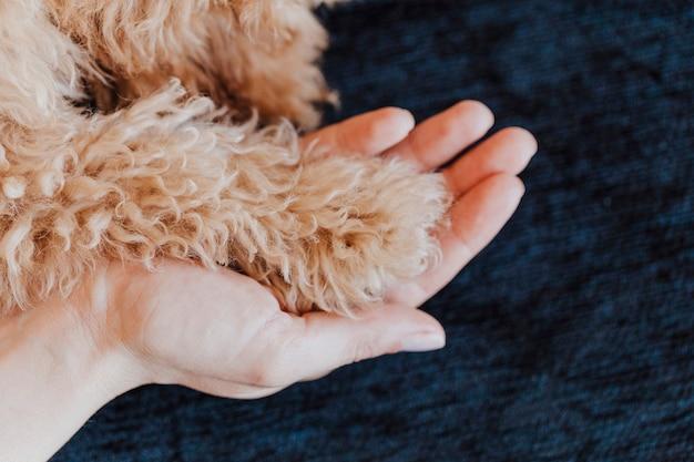 Patas do cão de caniche de brinquedo e fim humano da mão acima, vista superior. amizade, confiança, amor, a ajuda entre a pessoa e um cachorro