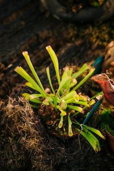 Patch de planta jarro ou trompete jarros