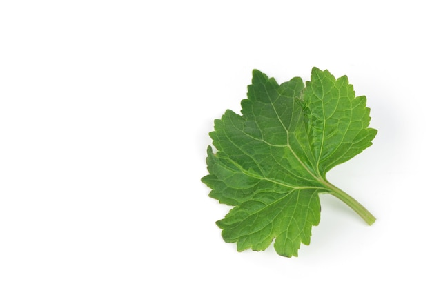 Patchouli ou pogostemon cablin benth, folhas verdes isoladas no fundo branco.