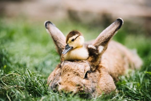 Patinho de pato-real, sentado sobre a cabeça de lebre na grama verde