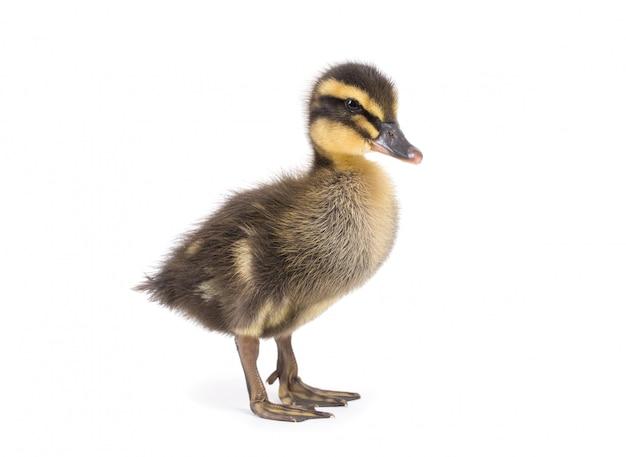 Patinho fofo recém-nascido pequeno bonito. um jovem pato isolado