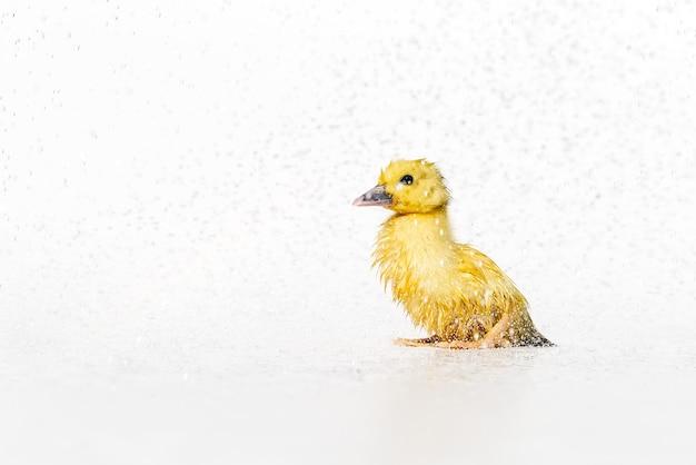 Patinho lindo recém-nascido amarelo molhado sob gotas de chuva