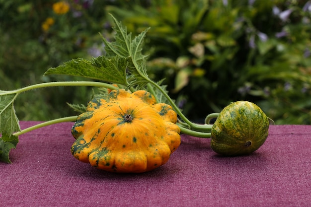 Patisson maduro e não maduro em uma mesa em close-up do jardim, orientação horizontal