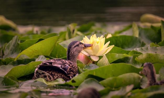 Pato adulto pega insetos que giram em lótus de água na lagoa da cidade
