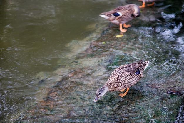 Pato bonito bebendo e assistindo na waterfal