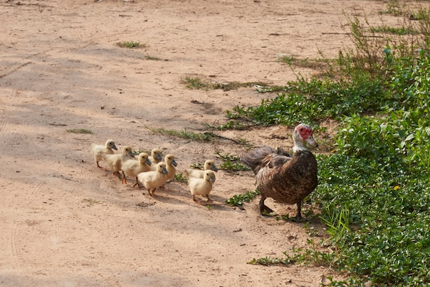 Pato bonito e patinho caminhar em linha