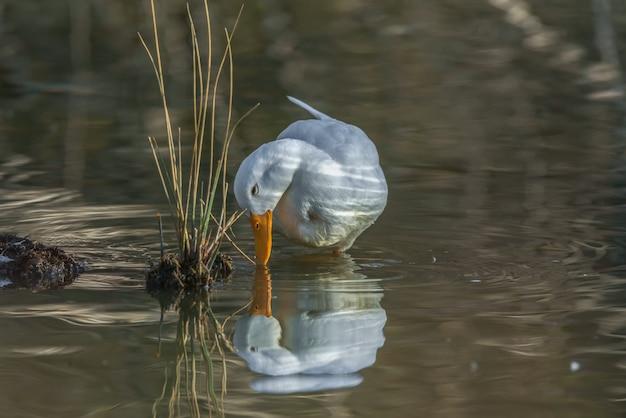 Pato branco comum bebendo água em um lago