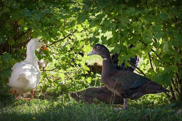 Pato branco e preto no fundo das folhas verdes
