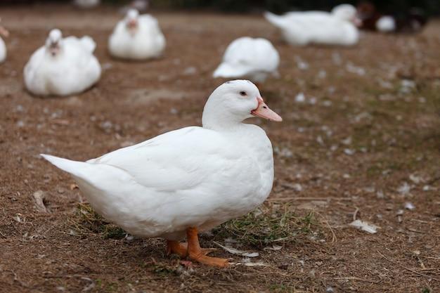 Pato branco lindo