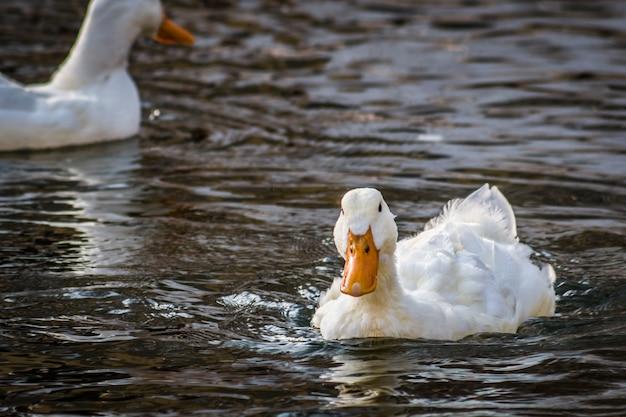 Pato branco nada em uma lagoa, close-up