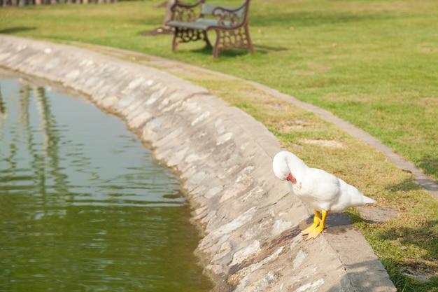 Pato branco no jardim