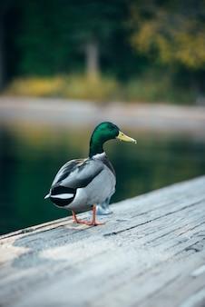 Pato charlatão está andando na ponte de madeira no lago tahoe