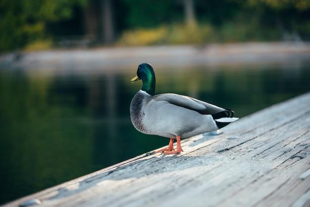 Pato charlatão está ficando na ponte de madeira no lago tahoe
