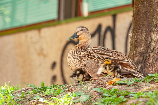 Pato com patinhos eles descansam na grama às margens de um rio