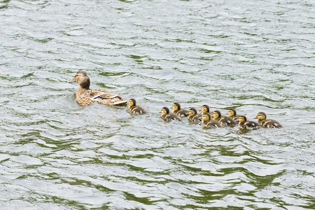 Pato com patinhos na lagoa