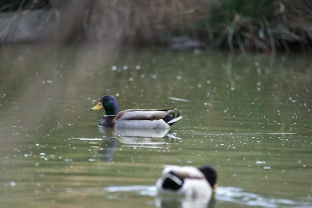 Pato comum nadando calmamente em uma pequena lagoa