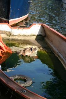 Pato em um barco
