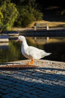 Pato em um parque
