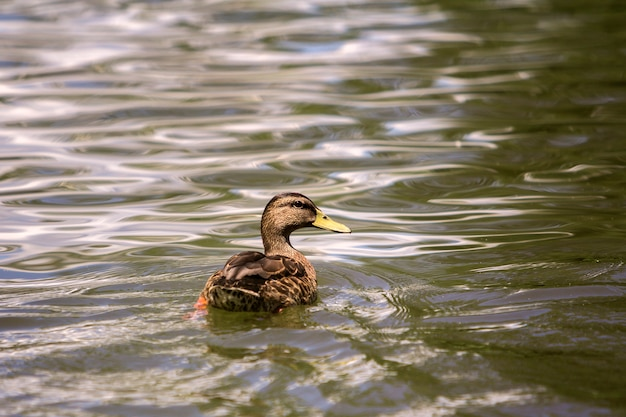 Pato fêmea do pássaro marrom agradável selvagem que flutua em iluminado brilhante pela lagoa e pela água efervescentes claras do sol.