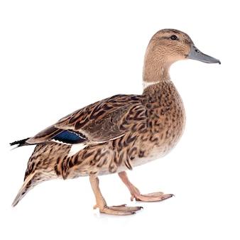 Pato fêmea