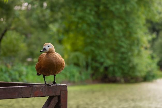 Pato fofo tadorna ferruginea sentado em uma grade de madeira em um parque público