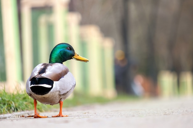 Pato macho com cabeça verde, caminhando no parque de verão.