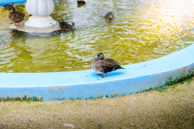 Pato mandarim macho (aix galericulata)