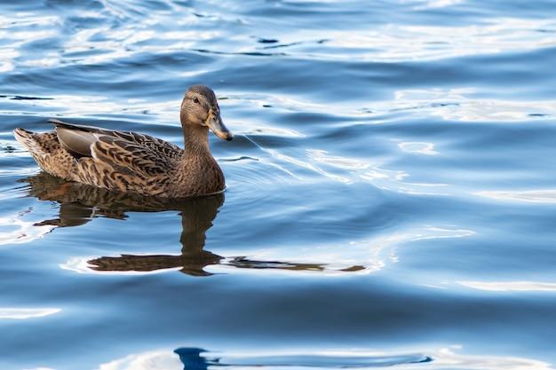 Pato marrom está nadando nas águas azuis do lago