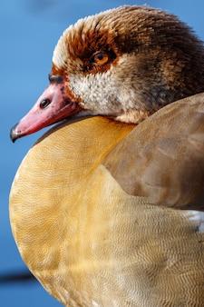 Pato na natureza