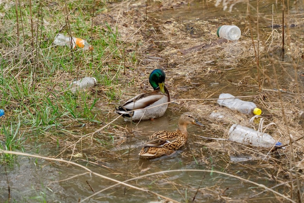 Pato nadando em um rio com garrafas de lixo, poluição plástica