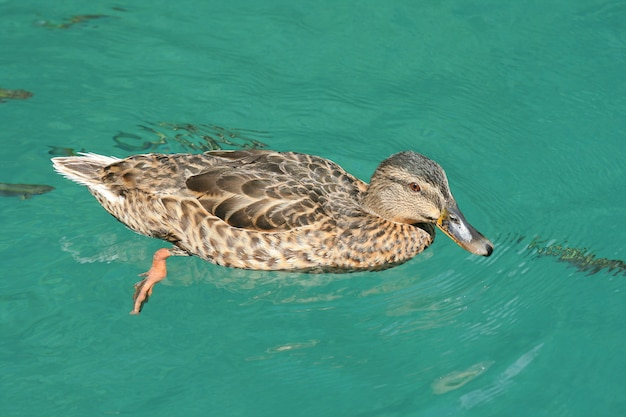 Pato nadando na lagoa