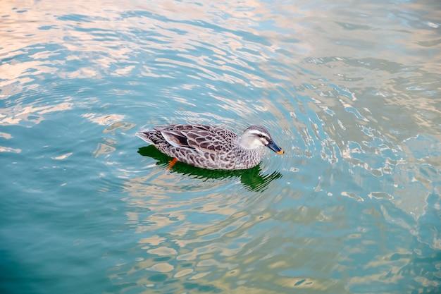Pato nadando na piscina