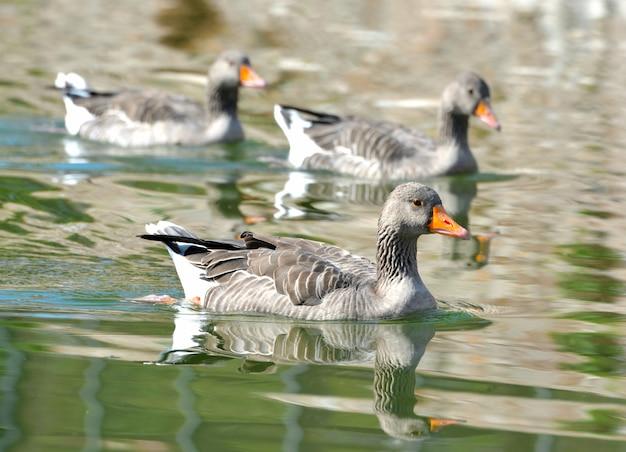 Pato no lago