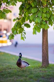 Pato no parque perto da árvore. virou o bico para a frente