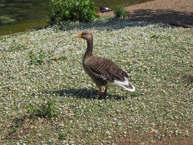 Pato pássaro na grama